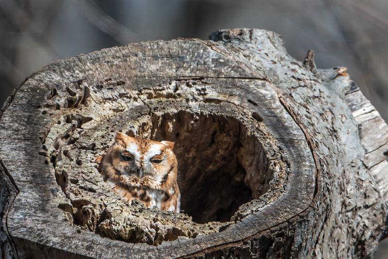 Eastern Screech Owl in Apple tree