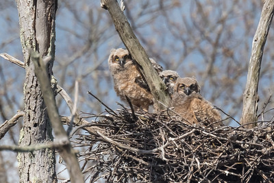 Three GHOW Owlets