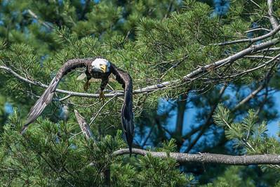 Eagle taking flight