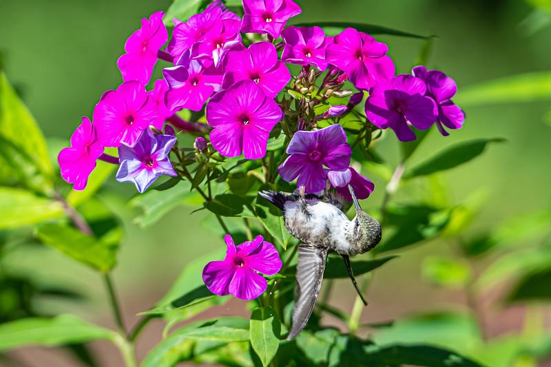 Upside down Hummingbird
