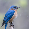 Eastern Bluebird in the rain