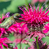 Hummingbird on bee balm
