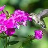 Hummingbird at Flox