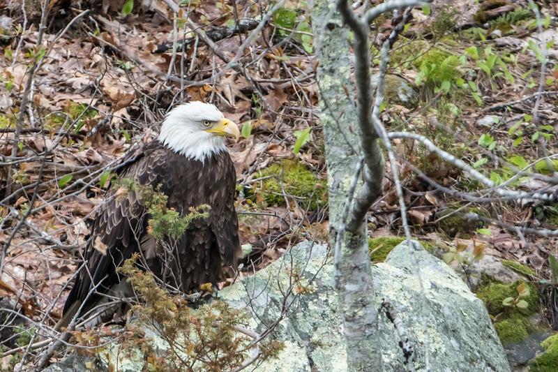 patiant eagle