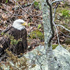 patiant eagle