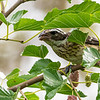 Female rose-breasted grosbeak in Mulberry tree