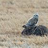 short-eared Owl on a rock