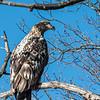 Immature Bald Eagle in tree