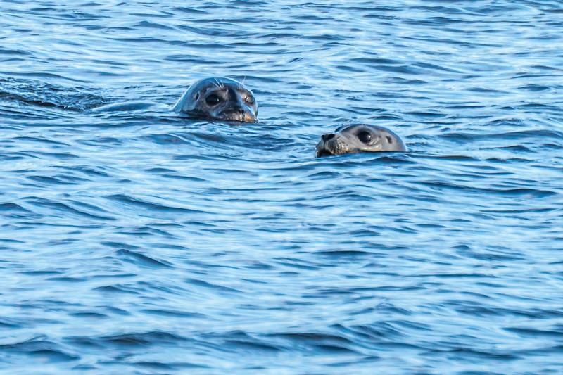 two seals in the Merrimack
