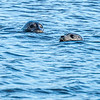 two seals in the Merrimack