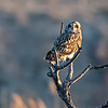 Short eared Owl in a tree
