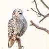 Snowy Owl smile