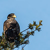 Immature Bald Eagle\
