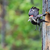 pileated Woodpecker leaving the nest