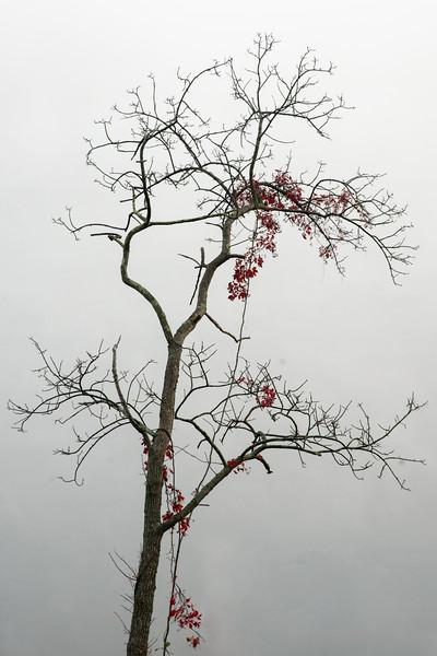 Tree with vine