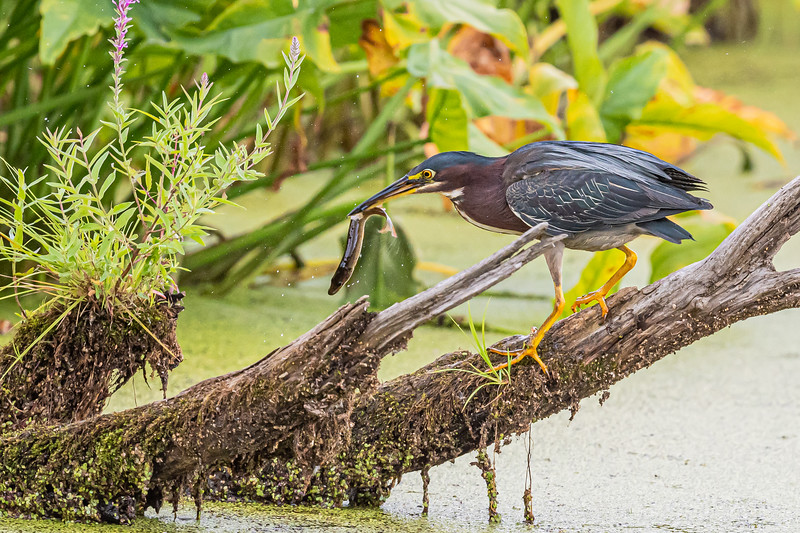 Green Heron with a fish