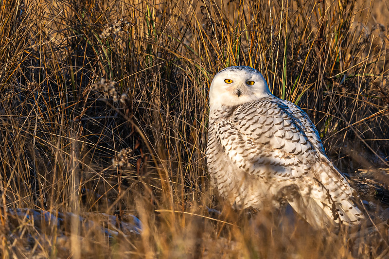 Snowy Owl in grass