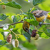 Oriole in Mulberry tree