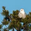 Snowy Owl in pine
