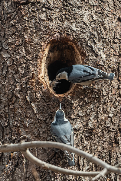 Nuthaches making a nest
