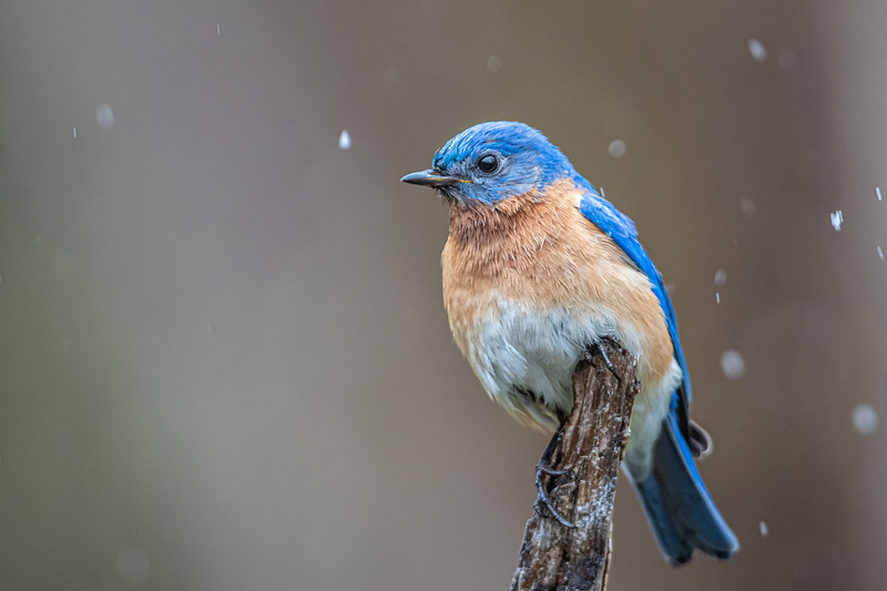 Eastern Bluebird in the snow