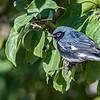 Black=throated Blue Warbler