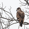 Immature Bald Eagle in tree