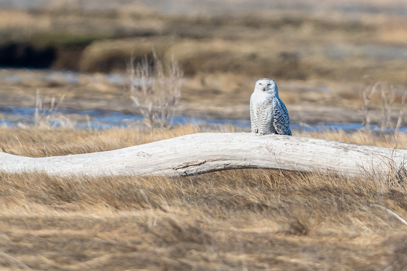 Snowy Owl on a log