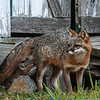 Mother Gray Fox with Kit