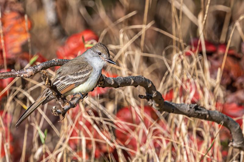 sh-throated Flycatcher