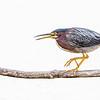 Green Heron on a stick