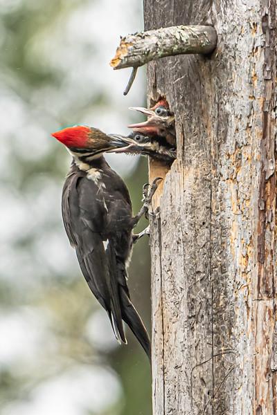 Pileated Woodpecker feeding chicks