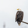 bald eagle on shore