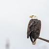 bald eagle on shore