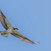 Fledgling Osprey
