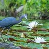 Littlre Blue Heron