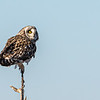 Short-eared Owl in tree