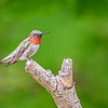 Ruby-throated Hummingbird i