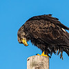 Bald Eagle on pole