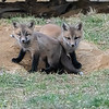 Two Fox Kit