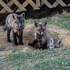Three Fox Kit