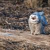 Snowy Owl on a log
