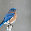 Bluebird in Snow