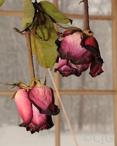 Roses drying in the window.