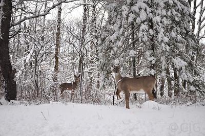 Some deer I saw.