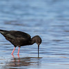 Black Stilt   - Kaki,  Mackenzie Basin
