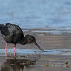 Kaki - Black Stilt  -  Mackenzie Basin