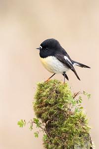 New Zealand Tomtit  - male