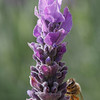 Honey Bee gathering nectar from the Lavandula flower