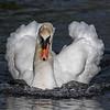 Mute Swan - male